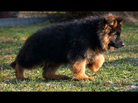 Heavy Long Coat German Shepherd Puppies For Sale In India