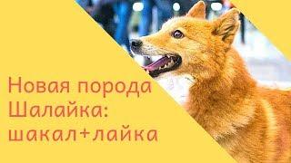 Шалайка. Новая порода собак