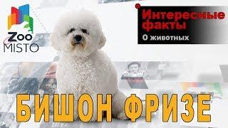 Бишон фризе - Интересные факты о породе  | Собака породы бишон фризе
