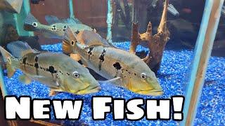 Fish Alert! New Ferocious Predator fish for Our Display Tank