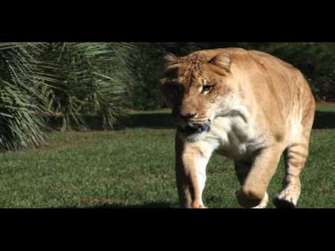 The Truth about Ligers