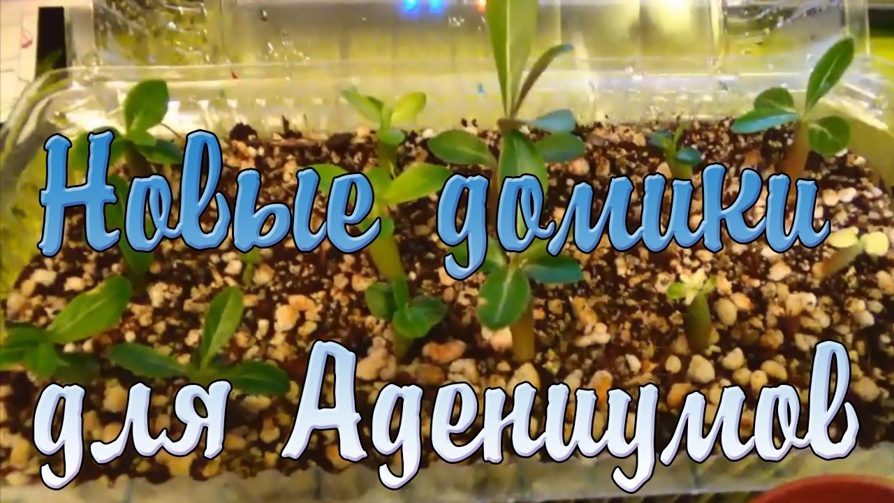 Адениум  пустынная роза выращивание и уход