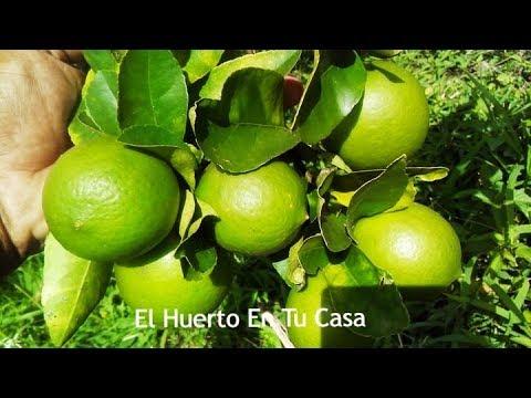 Reproduccion asexual de las plantas por injerto de limon