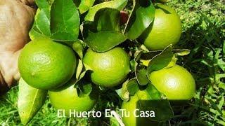 COMO TENER UN LIMONERO EN 3 MESES CON FRUTOS (lemon plant)