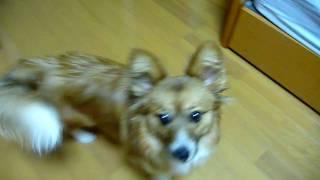2008年夏、神奈川県秦野市にある「愛犬ハウスセキノ」で出会いました。...
