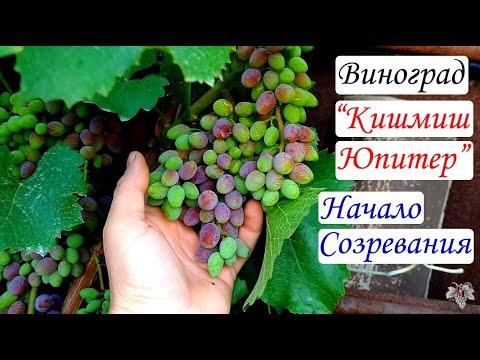 Виноград Кишмиш Юпитер. Начало созревания