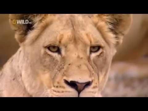 Животные мира Саванна Африки Царь зверей Сила прыжка Элитная команда Самые сильные Взгляд льва Охота