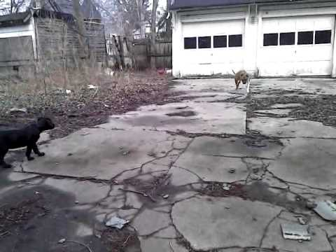 Bull Mastiff/Great Dane mix (Daniff) puppy plays with a ...