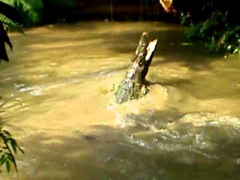 Crocodile at Zoo Taiping, Perak