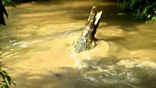 Crocodile at Zoo Taiping, Perak