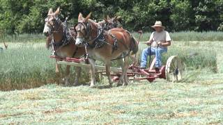 Mules Mow Hay in Tennessee