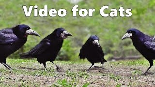 Videos for Cats to Watch Birds : Rooks, Jackdaws and Crows Extravaganza