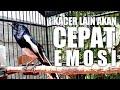 Pancingan Agar Kacer Cepat Emosi Gacor Dan Buka Ekor  Mp3 - Mp4 Download