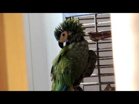 Ara Manilata - Parrot - Rotbauchara