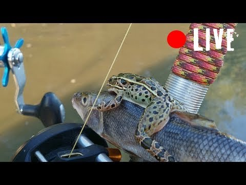 Frog or Cut Bait?- Circle Hooking For Channel Catfish- LIVE