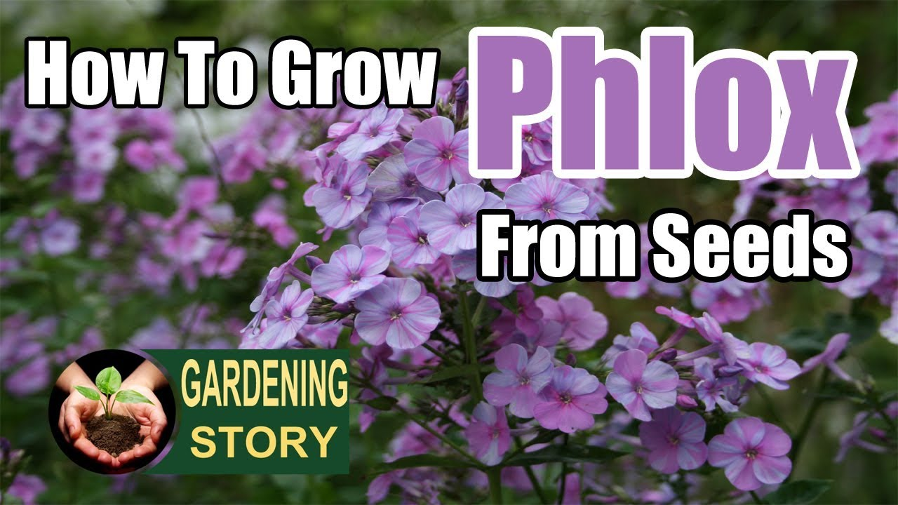 How To Grow Phlox From Seeds Gardening Story