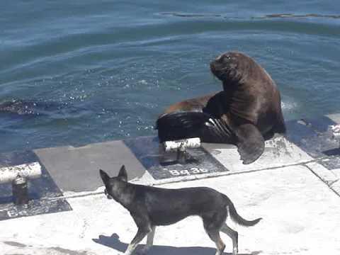 Lobo marino asesino..MPG