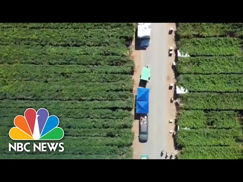 Many Latino Essential Farm Workers Risk Their Lives For Work   NBC News NOW