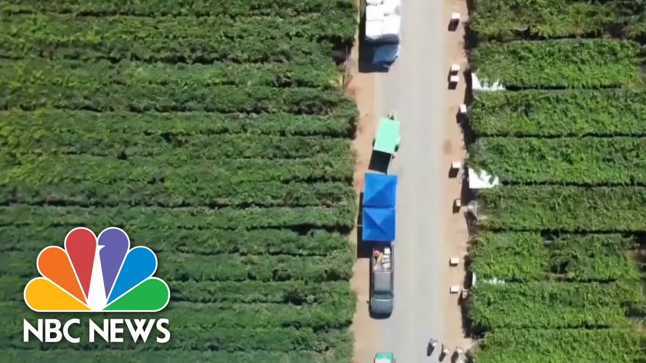 Many Latino Essential Farm Workers Risk Their Lives For Work | NBC News NOW