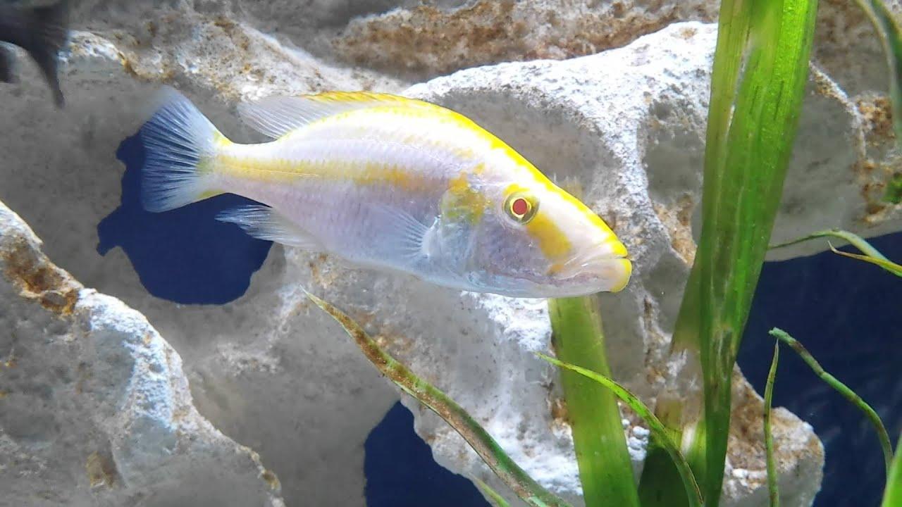 Dimidiochromis compressiceps(Albino) - YouTube