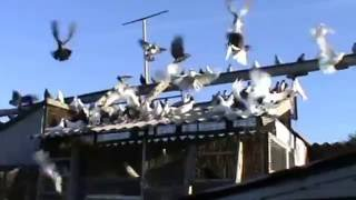 Серпастые голуби часть 1