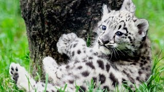 Leopards Playing 🐆🐆 Cute Leopard Cubs Playing (Full) [Funny Pets]