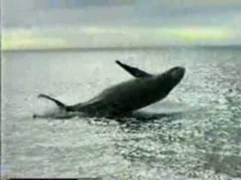 Humpback Whales Breaching