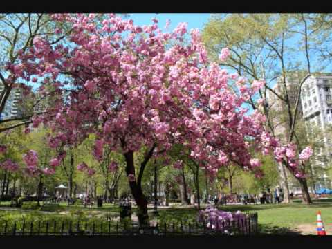 flowering almond tree youtube