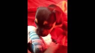 My SUPER cute 2 week old half chihuahua half pitbull baby puppyyyy!!! :)