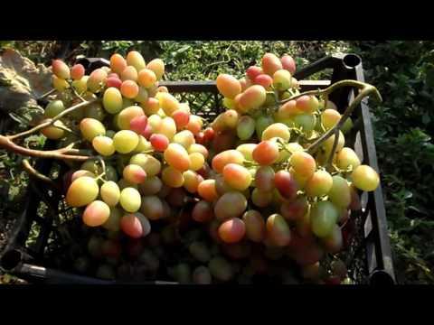 Как вырастить виноград в сибири, используя специальную
