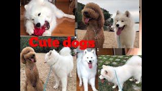 SAMOYED BREED DOG|PUBLICO VLOGS