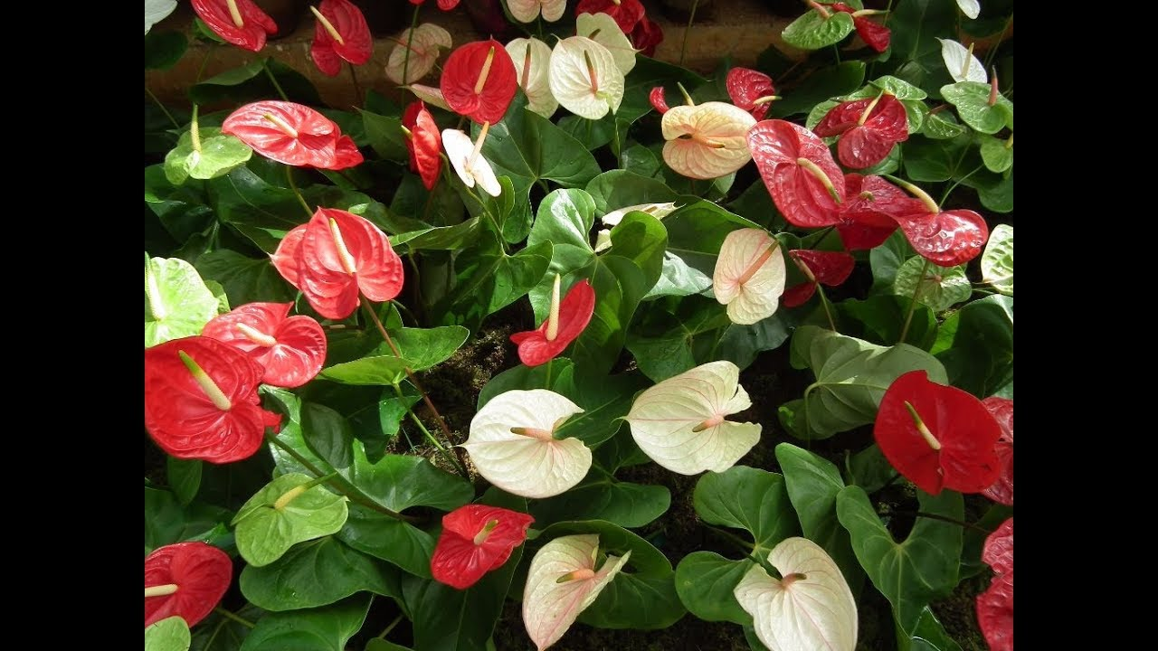 Rare and most beautiful flamingo flowers anthurium flowers youtube rare and most beautiful flamingo flowers anthurium flowers izmirmasajfo