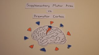 Supplementary Motor Area vs. Premotor Cortex