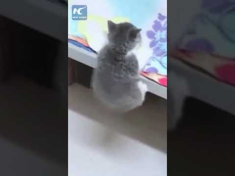 Little kitten with short legs can't quite make it into bed
