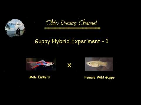 Experiment 1 - Hybrid Of Male Endler With Female Wild Type Guppy