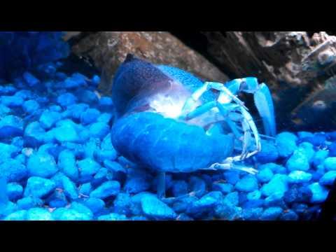 Blue Crayfish Molting
