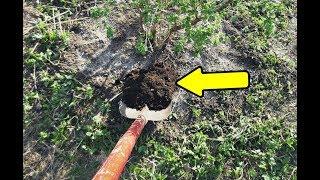 Подкормите этим чёрную смородину осенью в сентябре для невероятного урожая на следующий год!