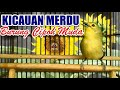 Kicauan Merdu Burung Cipoh Sirtu Muda Hutan  Mp3 - Mp4 Download