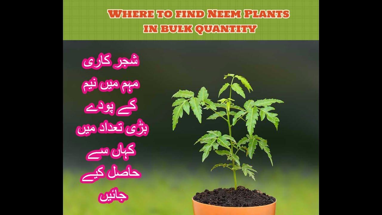 Where To Get Neem Tree Plants