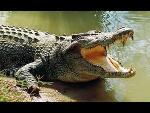 Crocodile Sounds and Pictures