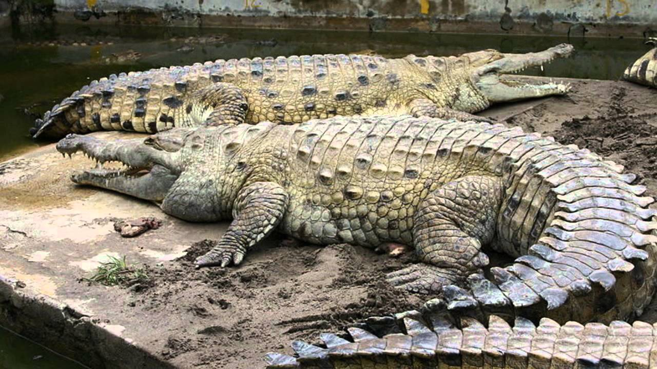 paragraph on crocodile