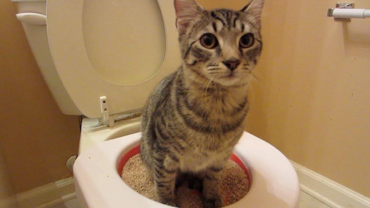 neutered tom cat wandering