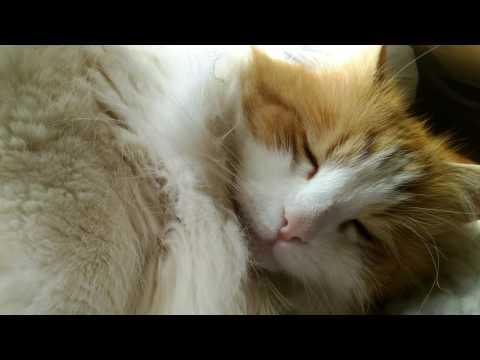 Siberian Forrest Cat in 4K