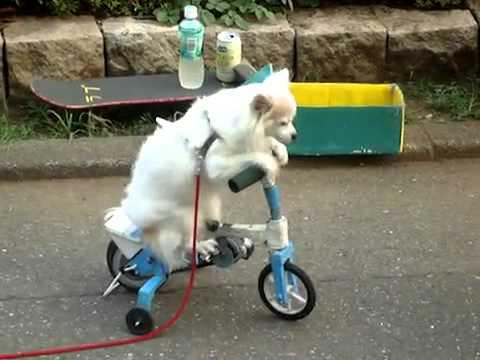 Siêu choáng với những chú chó đi xe đạp    như người3   Lạ&Fun   Kênh14 vn