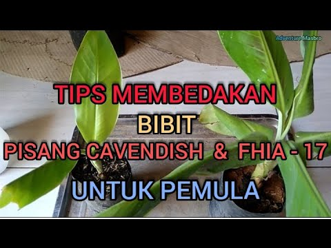 Tips Membedakan Bibit Pisang Fhia 17 Dan Cavendish Youtube