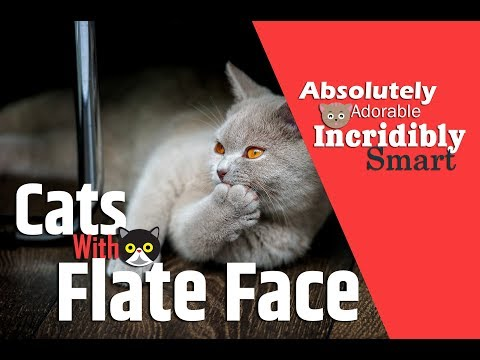 Cats With Flat Faces – 10 Cat Breeds & Facts