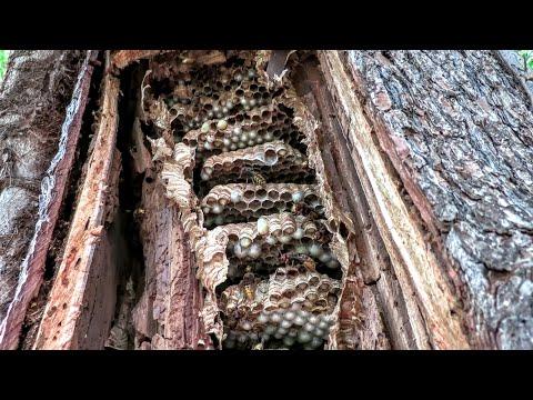 European Hornets Nest Inside Tree - Squirrel Eats Larvae - Wasp Nest Removal