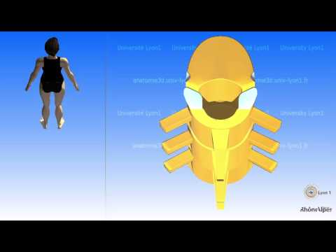 The thoracic vertebra and the mobility of the thoracic region