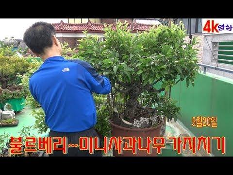 불르베리~미니사과나무 가지치기 작업소개 4k