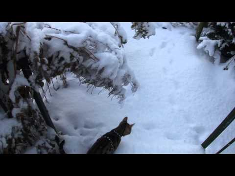 Zahra our Bengal cat first time in real snow HD 1080p